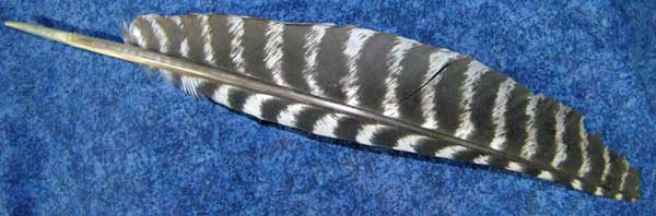 The sacred turkey feather bestowed on Donald Robinson by Mark Anthony Jacobson for his many contributiona as the Principal Conspiracy Theorist.